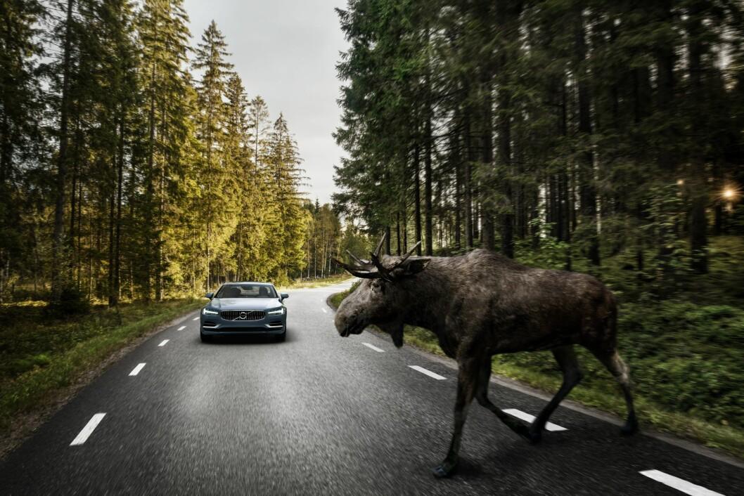 BREMSER AUTOMATISK: Hvis du er uoppmerksom og ikke ser elgen, nødbremser nå de nye Volvo-bilene for deg. Foto: Volvo