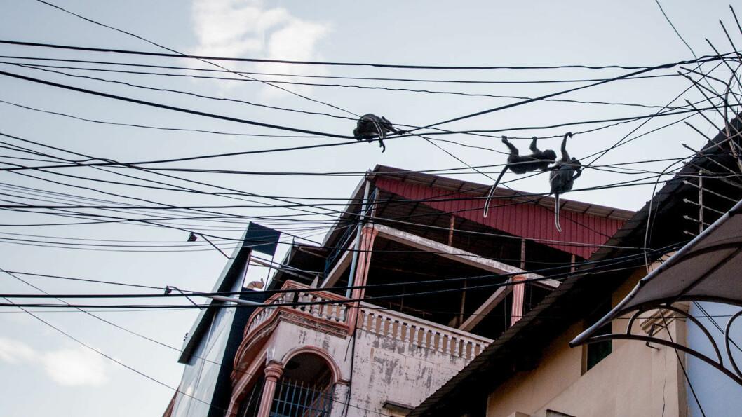 GATELIV: Apekatter svinger seg i ledningsnettet i sentrum av millionbyen Phnom Penh.