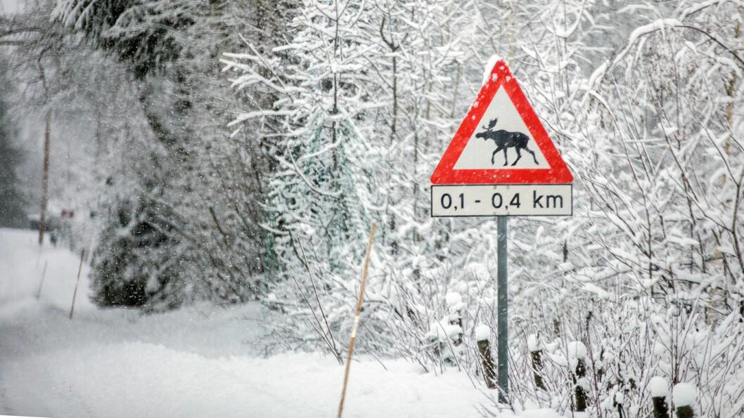 PASS PÅ: Elg og annet vilt fører til mange kollisjoner på veiene. Foto: Tomm W. Christiansen