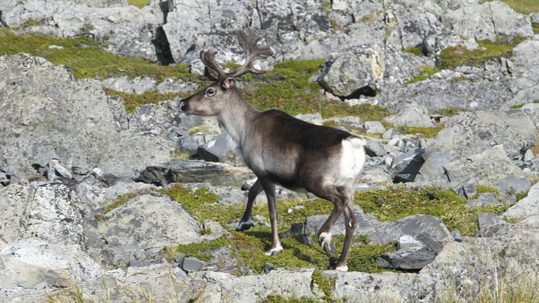 OFTE I VEIEN: Nesten uansett hvor du kjører i Finnmark krysser tamrein veibanen, så følg med! Foto: Rune Korsvoll