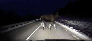 Se filmen: Plutselig står elgen midt i veien!