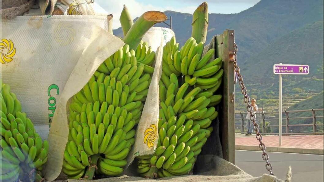 BANANARAMA: Utenfor landsbyen Hermigua ligger bananplantasjene. Foto: Hermigua Jorbasa