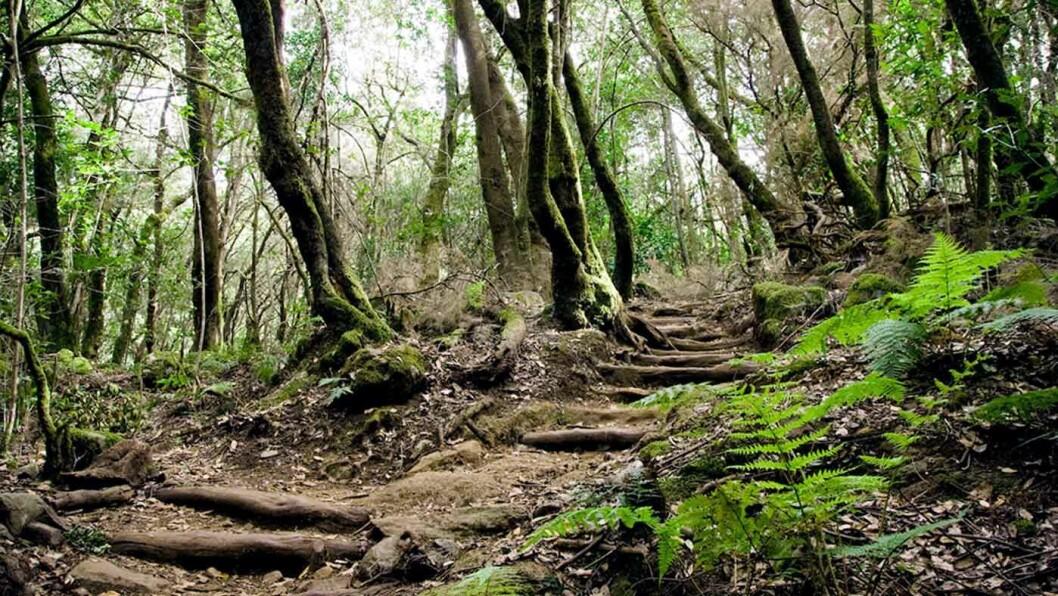 TROLSK: Stiene slynger seg mellom trærne i den lille regnskogen på La Gomera. Foto: Cesar Renones Dominguez