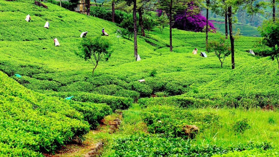 CEYLON TE: De grønne teplantasjene farger åssidene grønne. Te er Sri Lankas viktigste eksportkilde, og Ceylon te sies å være spesielt fin.