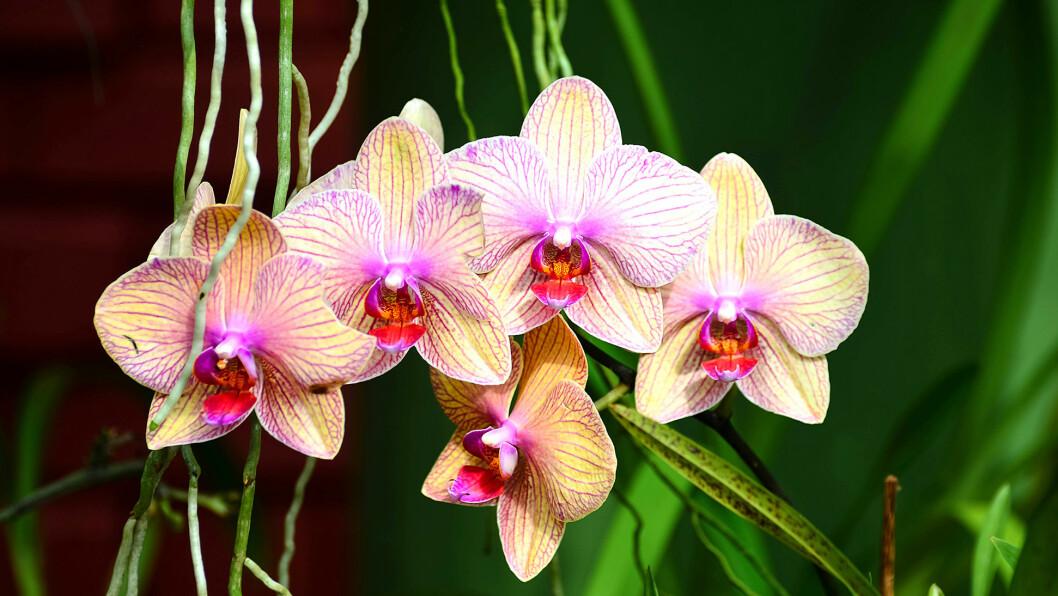 BLOMSTERPRAKT: Den botaniske hagen er en frodig oase med blant annet en unik samling orkideer.
