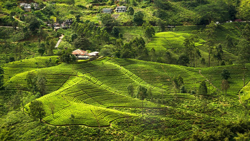 GRØNNE ÅSSIDER: Vekstvilkårene i de kjølige fjellsidene på Sri Lanka skal gjøre at teen blir spesielt rik på antioksidanter.