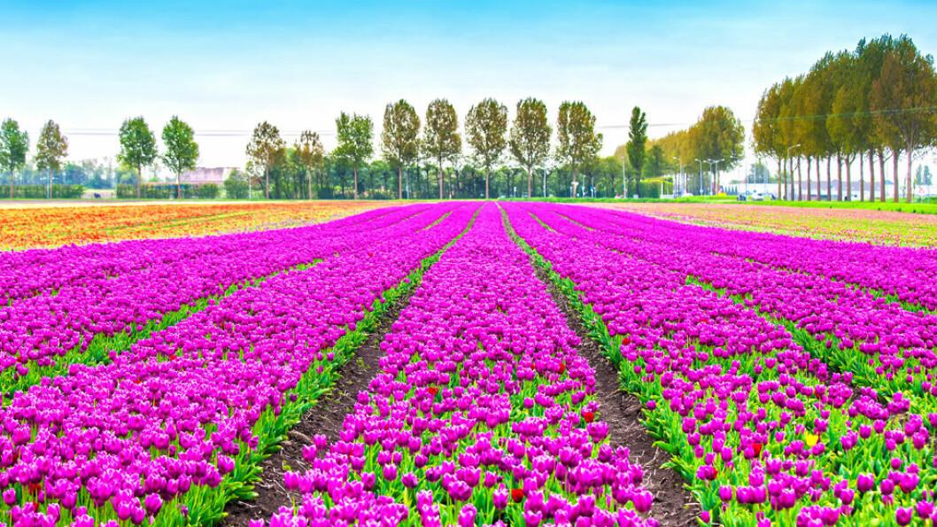 KEUKENHOF: Nederlands berømte tulipanpark Keukenhof består av om lag 320 mål med tulipaner og andre løkblomster som alle står i full blomst om våren. I 2017 er parken åpen fra 23.mars til 21.mai. Foto: Shutterstock