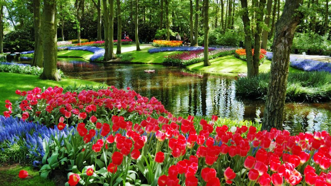 NEDERLANDS BLOMSTRENDE HAGE: Tulipanparken Keukenhof er åpen bare to måneder i året. Her blomster rundt 800 ulike tulipansorter. Foto: Shutterstock
