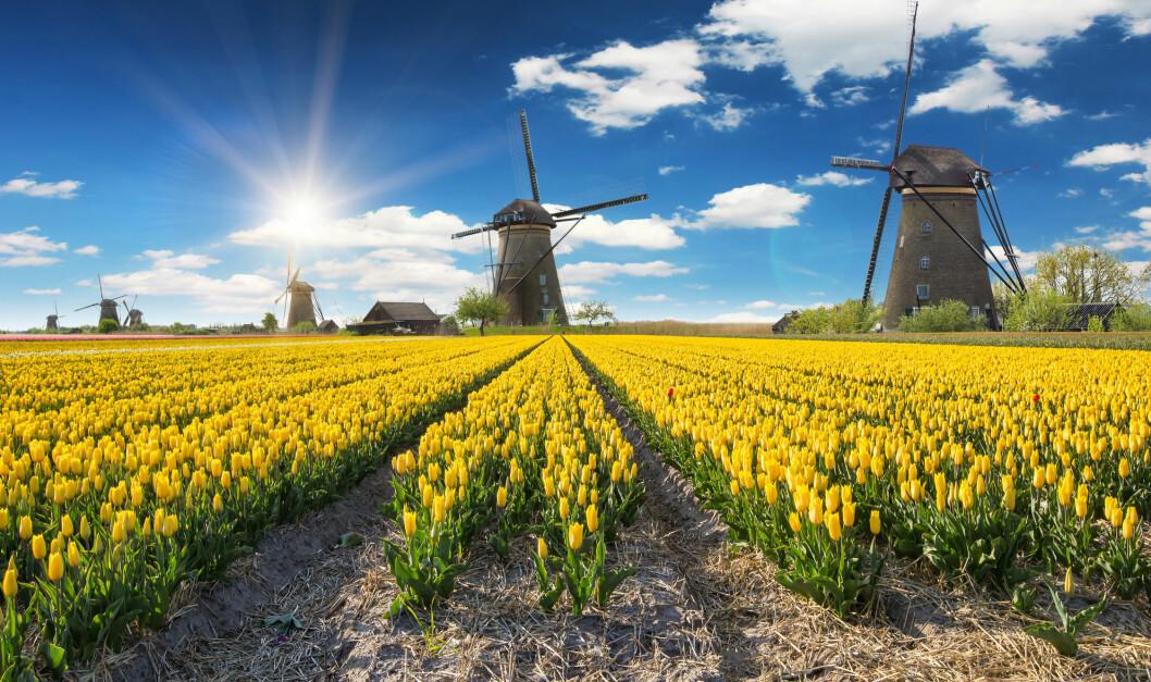 NEDERLAND: Tulipanåker med vindmøller i bakgrunnen, kan det bli mer nederlandsk? Foto: Lucas Godja