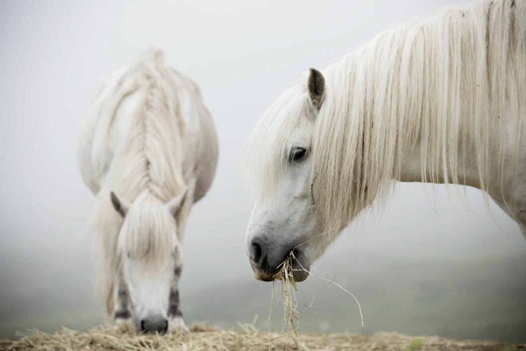 HØY PÅ LANDET: Hester fotografert på vestkysten av Mull.