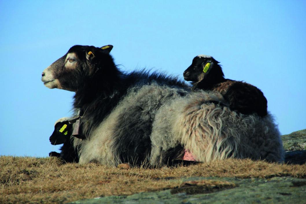 FASTBOENDE: Den gamle norske sauerasen holder til på Torungen hele året.
