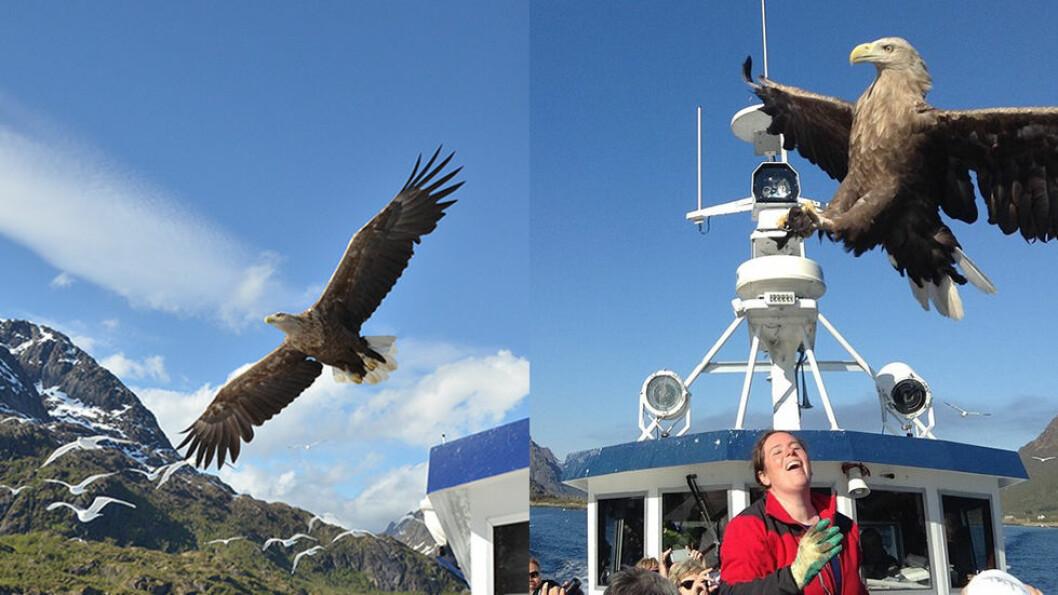 Med båt inn i Trollfjorden i Lofoten kan man oppleve av havørnen flyr over hodet på oss.