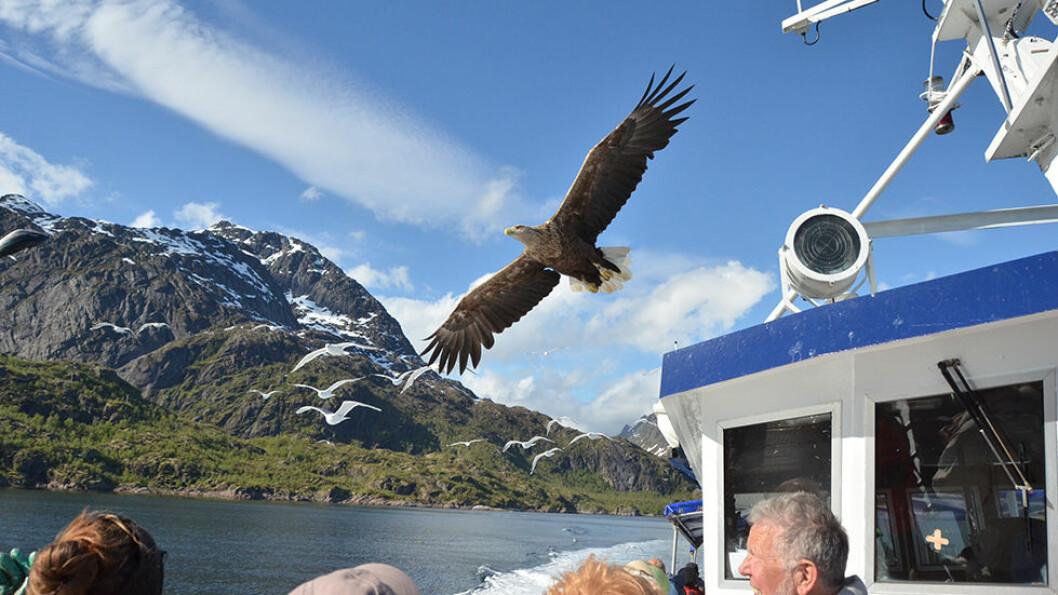 Trollfjorden er magisk, og det er helt spesielt når havørnen seiler over oss.