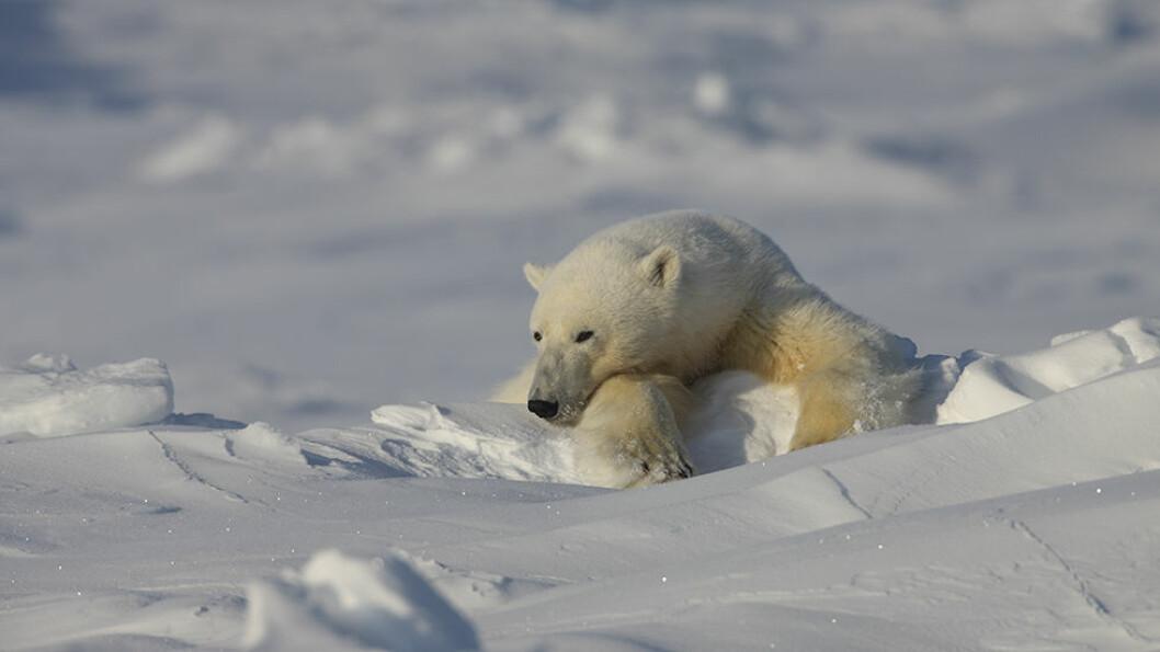 På Svalbard er det faktisk mulig å se både isbjørn og hvalross.