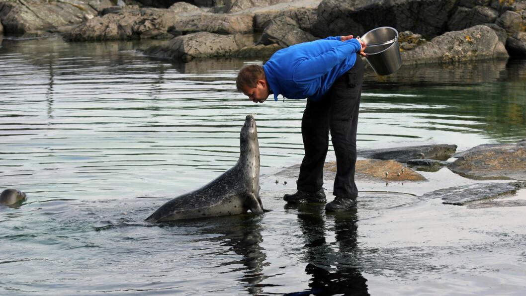 MIDDAG: Mating av seler og andre dyr skjer til stor begeistring for publikum i Atlanterhavsparken. Foto: Atlanterhavsparken