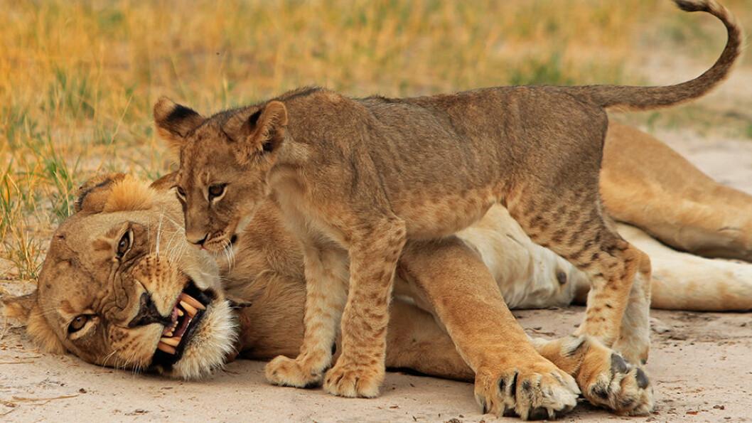 I Hwange nasjonalpark opplever vi dyrelivet tett på.