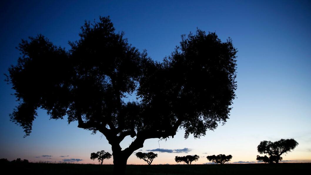 STEMNINGSFULLT: Korkeik og oliventrær preger landskapet i Portugal. Foto: Mette Randem