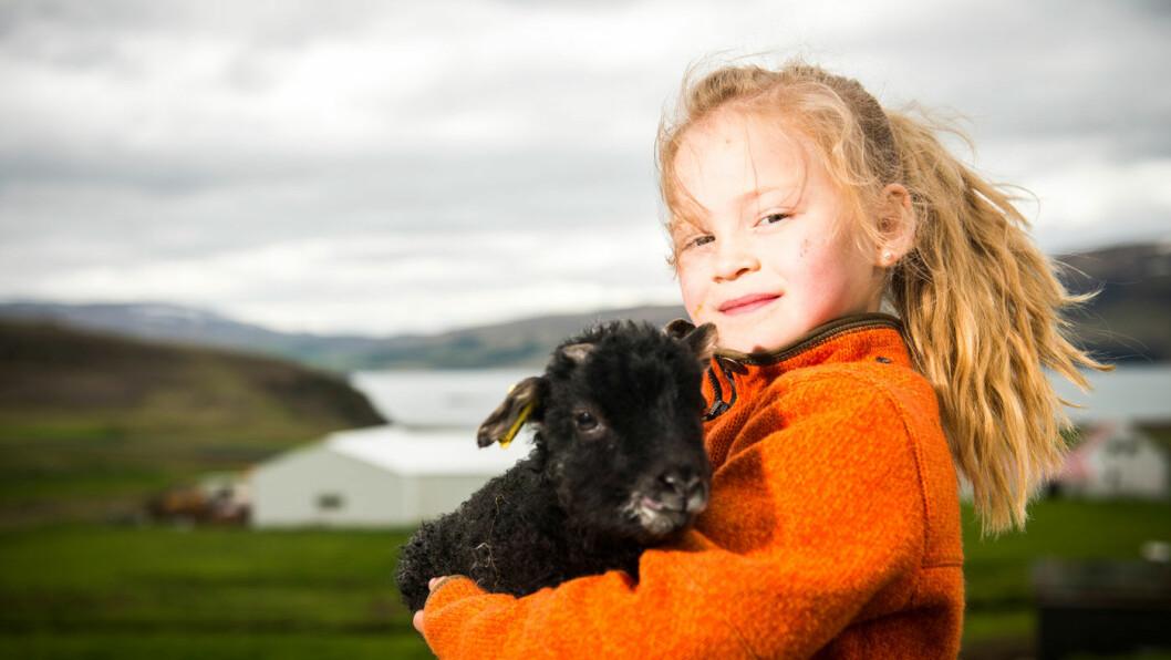 TID FOR LAMMING: Små lam er veldig søte. Det synes i hvert fall Arna (6). Mammaen hennes jobber på gården Bjarteyjarsandur, et yndet mål for både islendinger og turister. Der får hun tid til å bli kjent noen av de om lag 1000 lammene som tas imot hvert år.