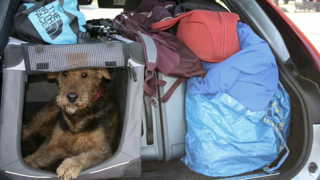 INGEN PLASSMESTER: Med hundebur og skrånende taklinje er det ikke så mye plass igjen i høyden i bagasjerommet til V90.