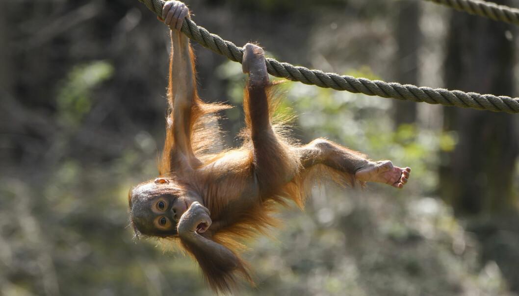 <b>DYREPARKEN</b>: Orangutangen Durian tar en sving.