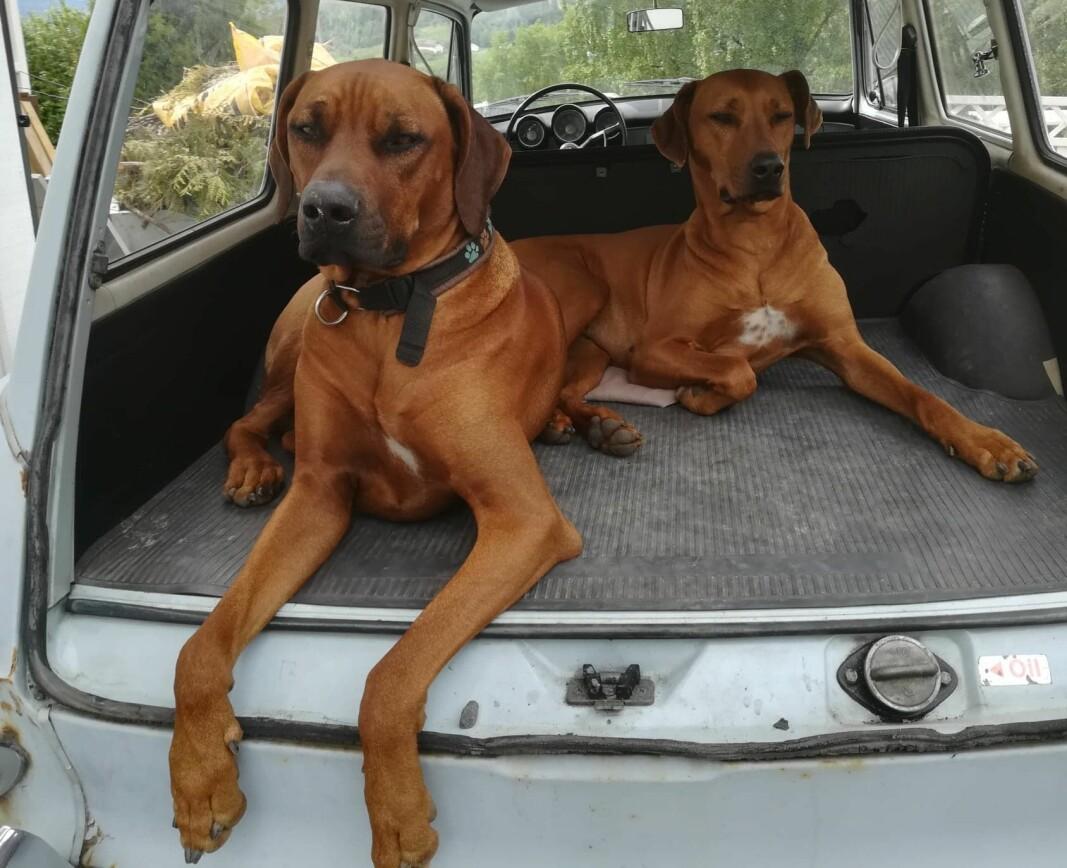 """<span class=""""font-weight-bold"""" data-lab-font_weight_desktop=""""font-weight-bold"""">HUNDEHUS: </span>Folkevognen har god plass til parets to røslige hunder av rasen Rhodesian Ridgeback."""