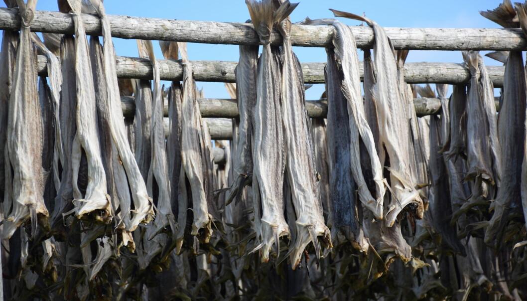 """<span class=""""font-weight-bold"""" data-lab-font_weight_desktop=""""font-weight-bold"""">IKKE ALENE:</span> Under fisket på Røst produseres ca 1000 tonn tørrfisk i løpet av noen hektiske vinter- og vårmåneder."""